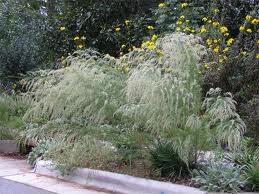 This homeowner understands the beauty of Dog Fennel. Unfortunately, this is not my yard.