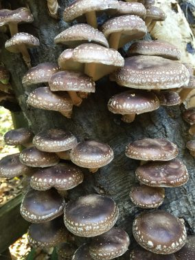 Shiitakes-Stephen-Hight-768x1024